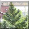 Female Easy Sativa Feminized 4 Marijuana Seeds